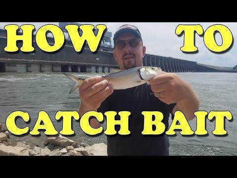 Catching & Storing Skipjack Herring For Catfish Bait