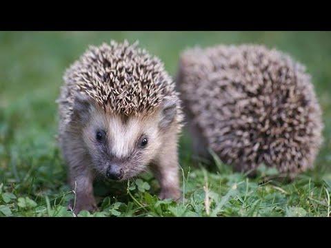كيفية تربية القنفذ الصحراوى طويل الاذن فى المنزل ومعلومات هامة عن القنفذ القنفد Hedgehog Care Youtube
