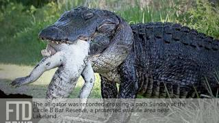 The biggest alligator in the world caught on video
