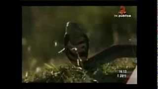 動物たちの戦いより、ライオンVSコブラの動画です。