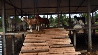 Low Cost Stall -Fed Goat Farm Part- I