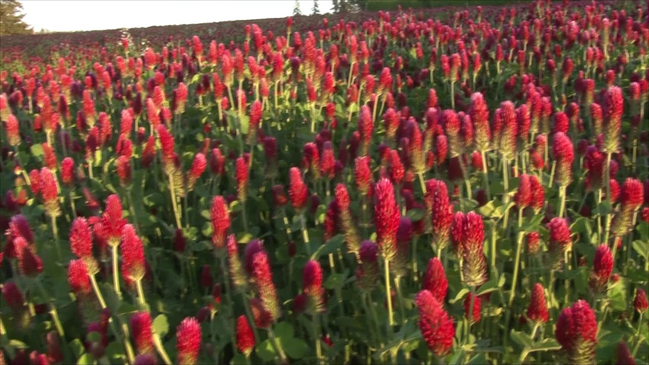Red Clover on SW Rosedale Road, West of SW 209th, 5 11 2018 - YouTube
