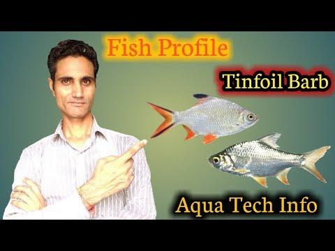 #106. Fish Profile - Tinfoil Barb