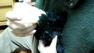 ケリーブルーテリアの子犬です☆ 離乳に伴い哺乳びんからミルクを飲むの図。