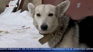 Наказания для водителя, который переехал собаку, требуют зоозащитники Алматы
