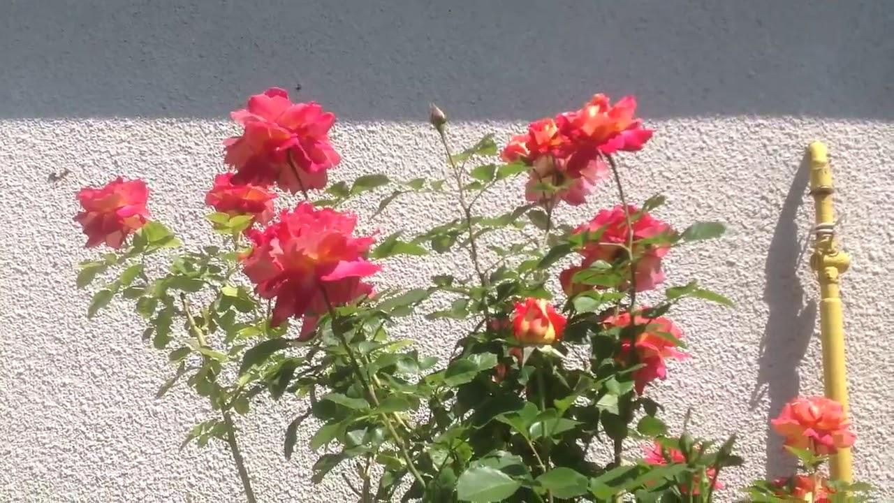 Огромный выбор живых и свежих роз разной цветовой гаммы и размеров. Купить розы в киеве по выгодной цене в украфлора.
