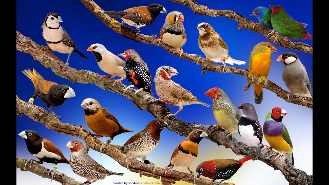 Finches of the World exhibition YouTube