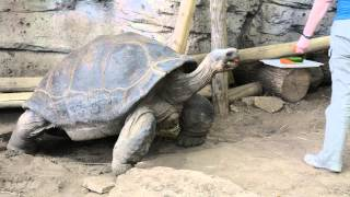 Last chance to see Bravo the Galapagos tortoise at Newport Aquarium