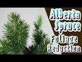 Dwarf Alberta Spruce (Picea glauca 'Conica') | Sr | Initial Branch Reduction