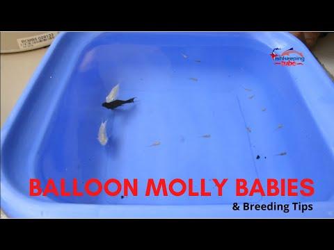 Balloon Molly Babies - Balloon Molly Fish Breeding Tips