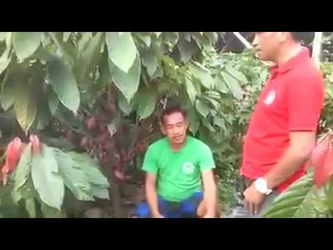 King Humus Plus Result in Cacao Farm by Julius Catipay,cp#00639974834813-00639072562271