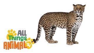 LEOPARDS: Animals for children. Kids videos. Kindergarten | Preschool learning