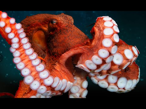 Octopus Documentary: Giant Octopus (Enteroctopus)