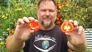 What's Better - Supermarket or Homegrown Tomatoes?