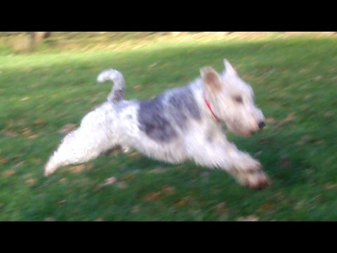 Wire-Haired  Fox Terrier Harry Harry.