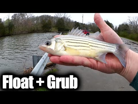 float-fishing-with-a-grub---spring-yellow-bass-and-bluegill-fishing