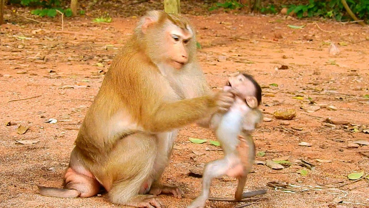 Pigtail monkey break neck baby monkey so hard