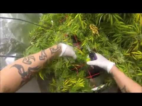 Blue Dream and Sour Diesel how to Harvest