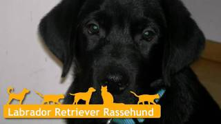 Labrador Retriever Welpen In Sülfeld