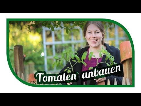 Tomaten Selber Anbauen, Pflanzen 🍅 Aussäen, Pikieren Und Auspflanzen