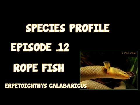 SPECIES PROFILE│ROPE FISH│