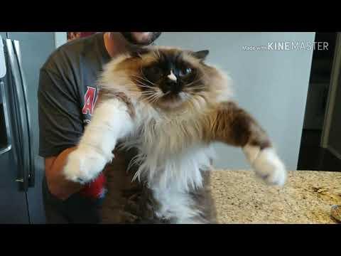 Fat Rag doll cat dance
