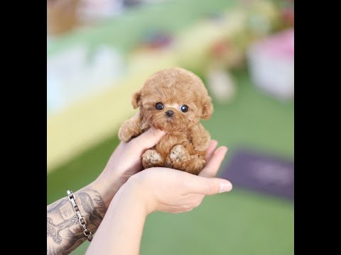 True Toy Poodle Teacup Dog