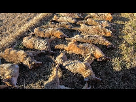 Amish Coyote Hunting!!! (36 Coyote Day)