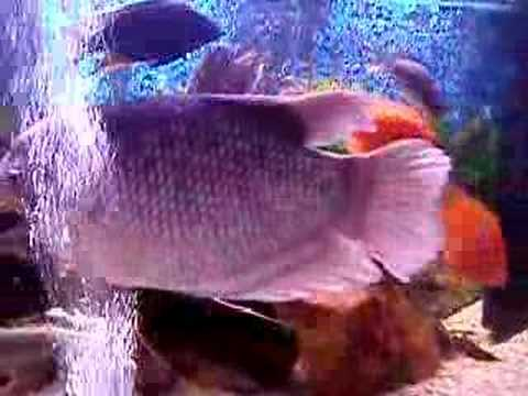 Giant Gourami Fish - R.I.P
