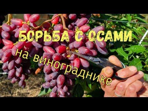 Борьба c осами на винограднике