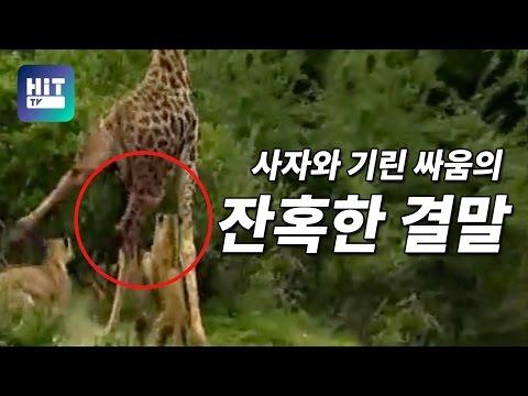 사자 기린 싸움의 종지부를 찍는 한방