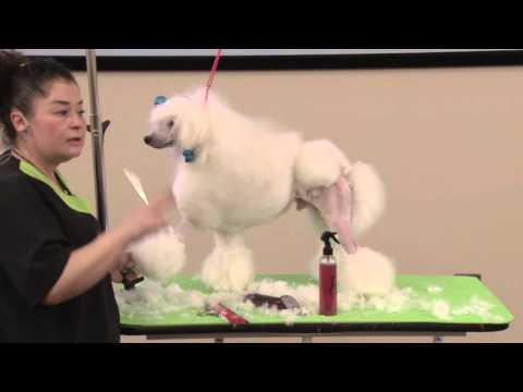 Dog Grooming - Grooming a Poodle in a Show Continental Trim Including the Spray-Up & Wigglets