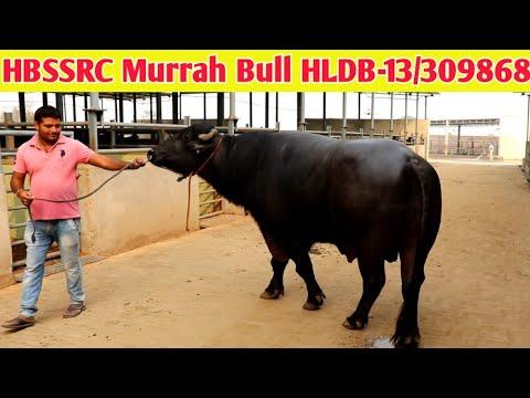 Hisar Murrah Bull