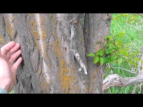 Identifying A Black Locust Tree