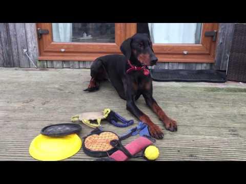 Reggie - Doberman - 2 Weeks Residential Dog Training