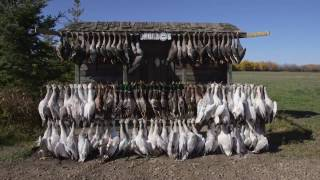 Hired to Hunt Season 2 #9 - Goose Hunting and Duck Hunting.  Limit hunts in Alberta