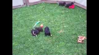 Schnauzer Puppies Toy Size And Miniatures Playing