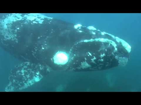 Southern Right Whale swim with Fleck and crew at Fowlers Bay South Australia