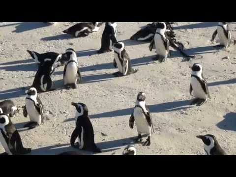 African Penguins at Boulders Beach near Cape Town