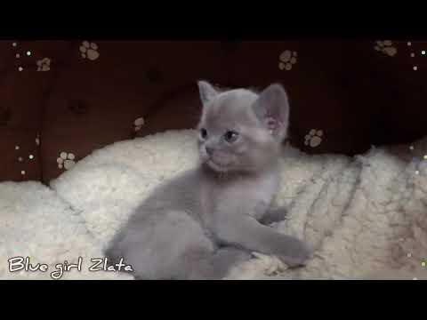 Голубой бурманский котёнок девочка Zlata. Питомник бурманских кошек Freya Way. Burmese cat.
