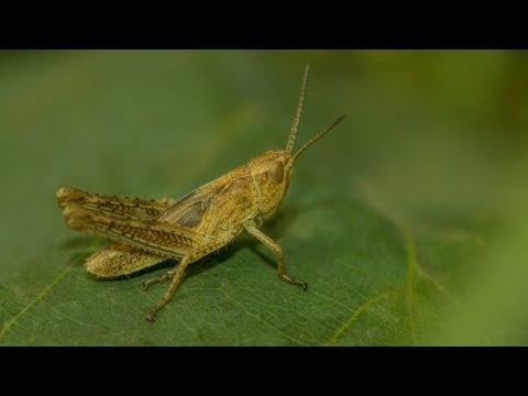 Вопрос: Чем сверчок отличается от цикады?