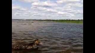 Плавающий кот, кот плавает в море (кот плывет в финском заливе)