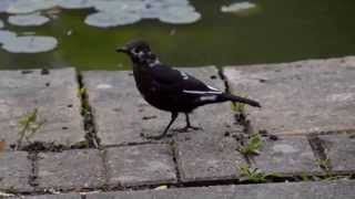 Leucistic Blackbird