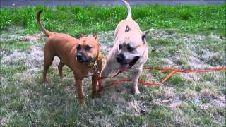 兄弟の遊びの様子 pitbull VS presacanario (dogo canario) fight.