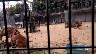 【悲報】カンガルーさんのエサにハトさんが・・・(王子動物園)[Sad ne...
