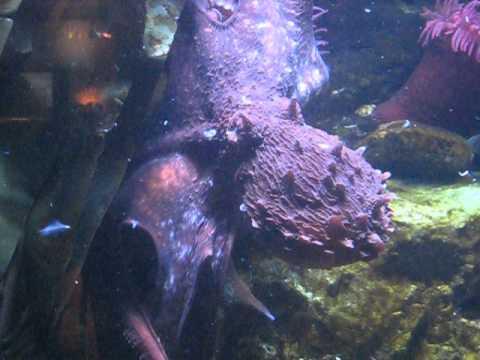 Dallas World Aquarium Octopus Youtube