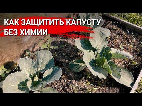 Как защитить капусту без химии
