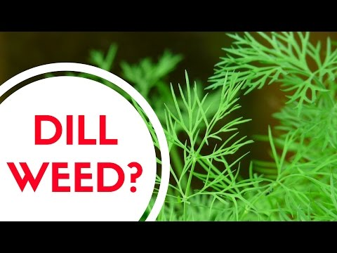 What Is Dill Weed?