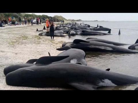 300 whales die in mass stranding in New Zealand