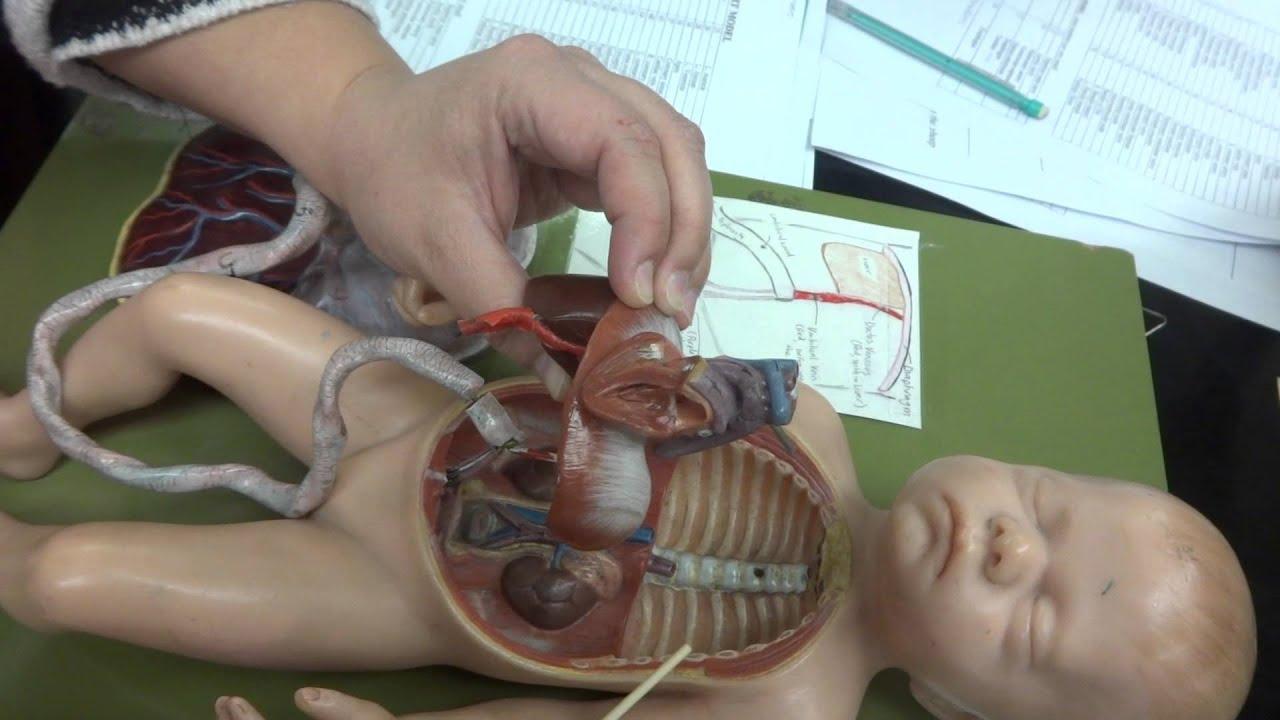 Human Anatomy model of fetal circulatory system - YouTube